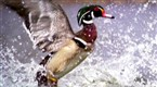 Watch Great Migrations - Ducks Away! Online