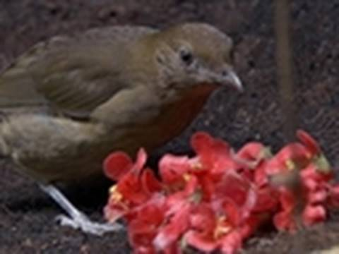 Watch LIFE: Discovery Channel - LIFE - Vogelkop Bowerbirds Display Treasures | Birds Online