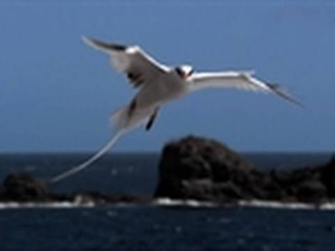 Watch LIFE: Discovery Channel - Life - Tropicbirds Fly the Gauntlet | Birds Online
