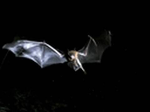 Watch LIFE: Discovery Channel - Life - Bulldog Bats Fish at Night | Hunters and Hunted Online