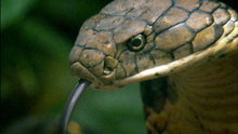 Watch Locked Up Abroad - Searching for the King Cobra Online