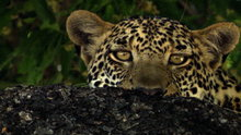 Watch Big Cat Week Season 1 Episode 14 - The Unlikely Leopard Online