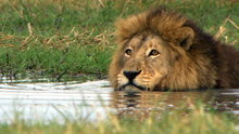 Watch Big Cat Week Season 3 Episode 12 - Swamp Lions Online