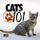 Watch Cats 101 Season 4 Episode 1 - Kurillian Bobtail, Chausie, Dwelf, Burmilla, Lambkin, Klepto Cat Online